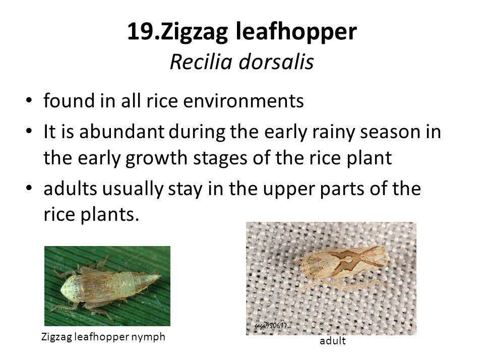 19.Zigzag leafhopper Recilia dorsalis