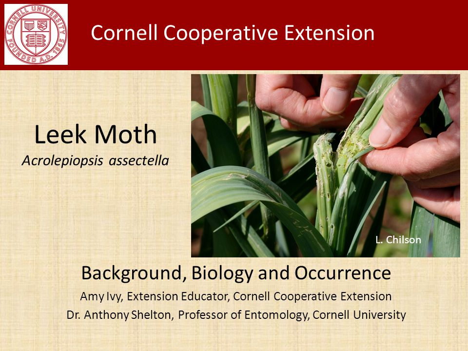 Leek Moth Acrolepiopsis assectella