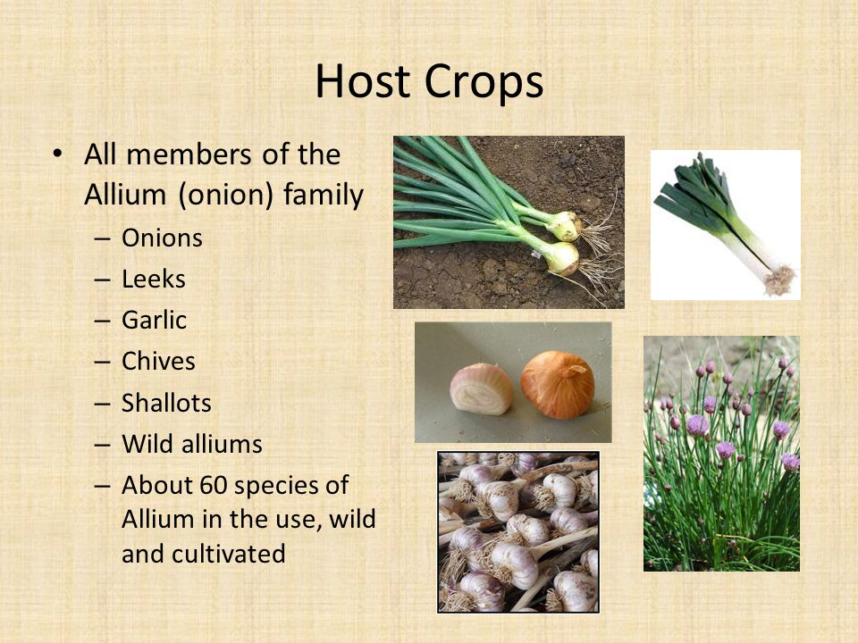 Host Crops All members of the Allium (onion) family Onions Leeks