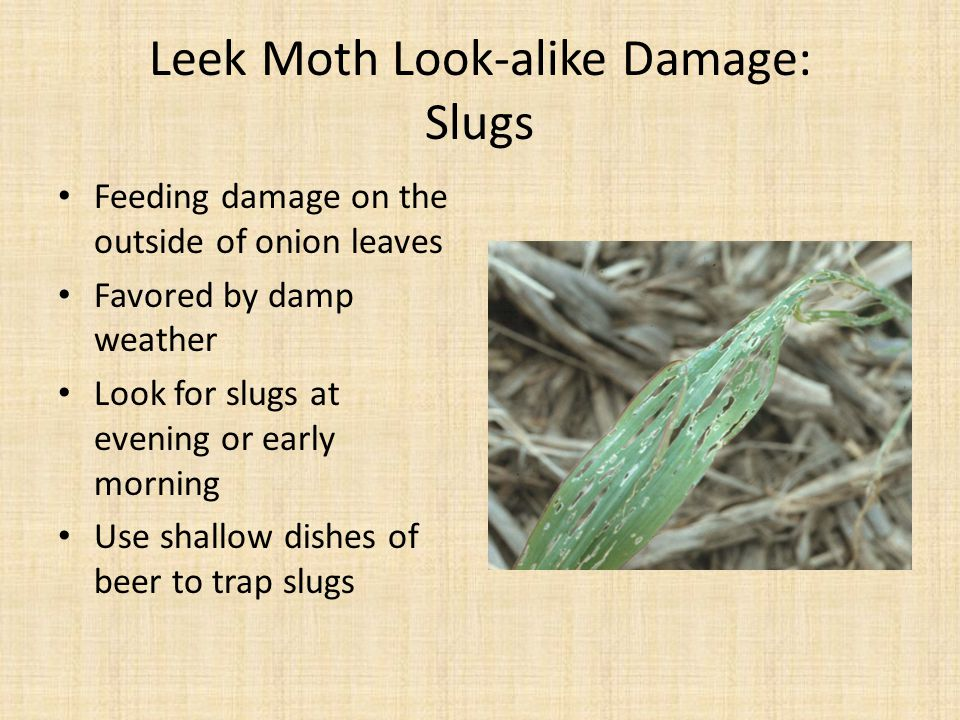 Leek Moth Look-alike Damage: Slugs
