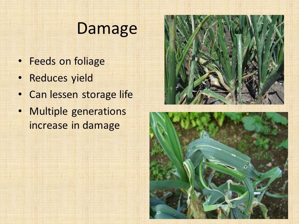 Damage Feeds on foliage Reduces yield Can lessen storage life