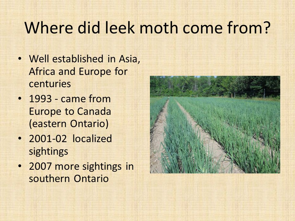 Where did leek moth come from