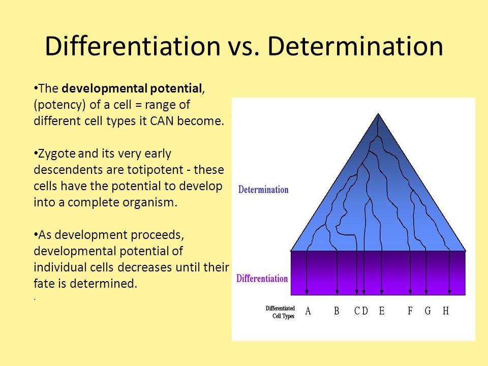 Differentiation vs. Determination