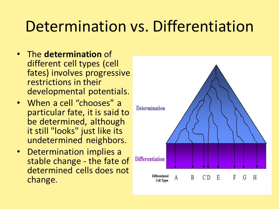 Determination vs. Differentiation