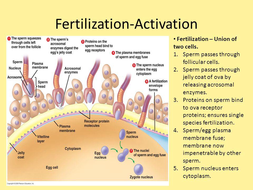 Fertilization-Activation