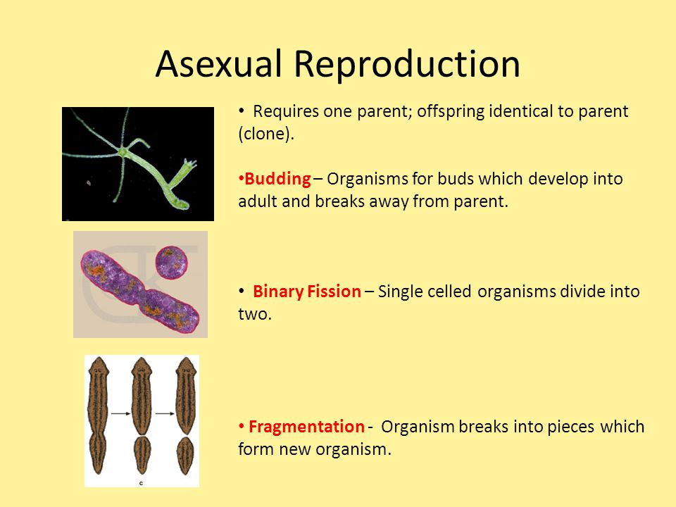Asexual Reproduction Requires one parent; offspring identical to parent (clone).