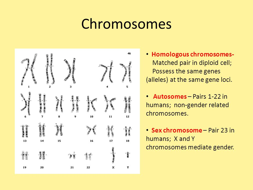 Chromosomes Homologous chromosomes- Matched pair in diploid cell;