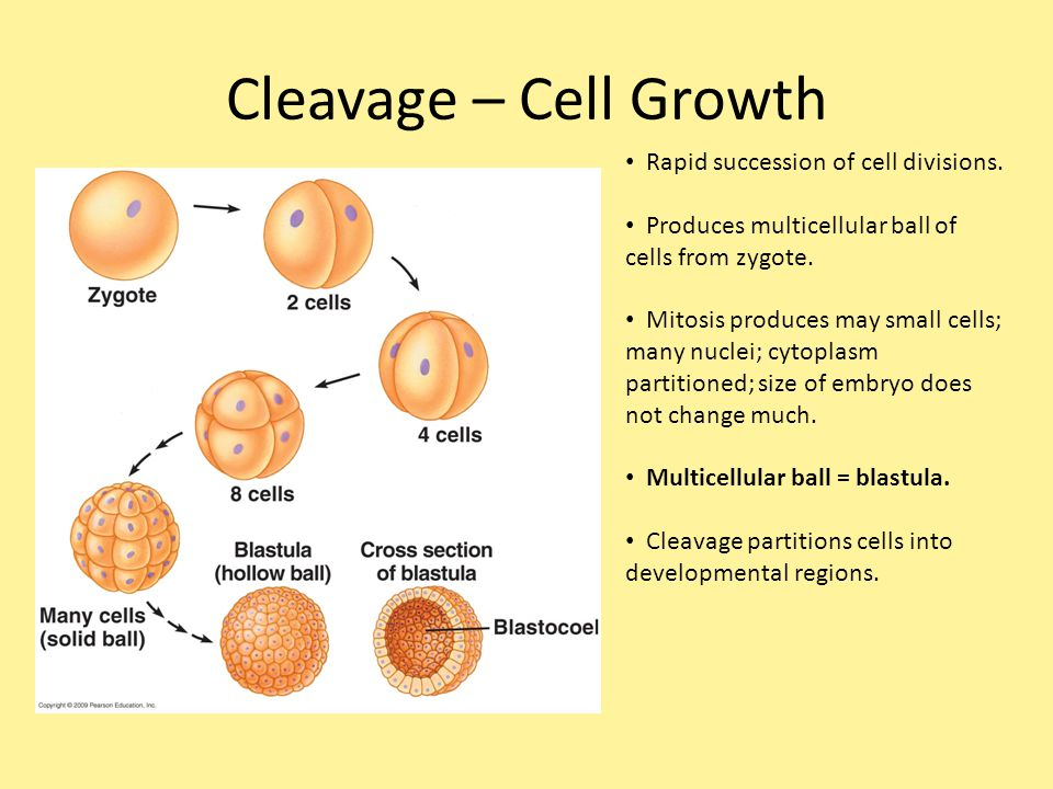 Cleavage – Cell Growth Rapid succession of cell divisions.