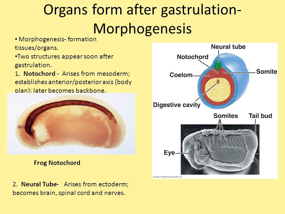 Organs form after gastrulation- Morphogenesis