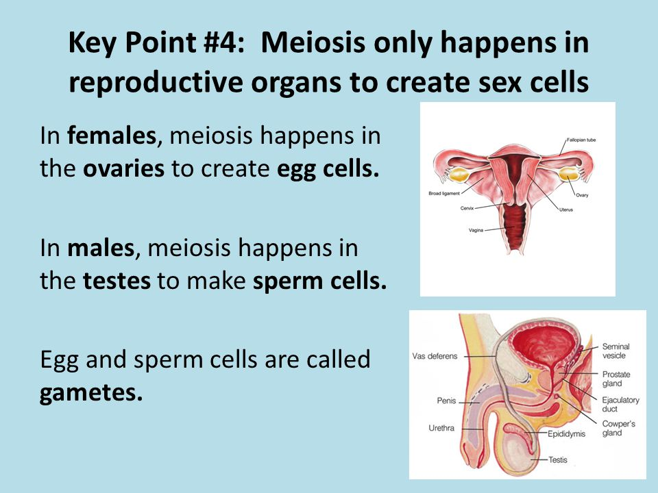 Key Point #4: Meiosis only happens in reproductive organs to create sex cells
