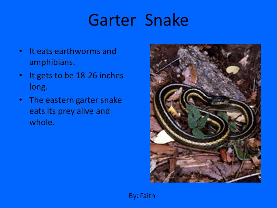 Garter Snake It eats earthworms and amphibians.