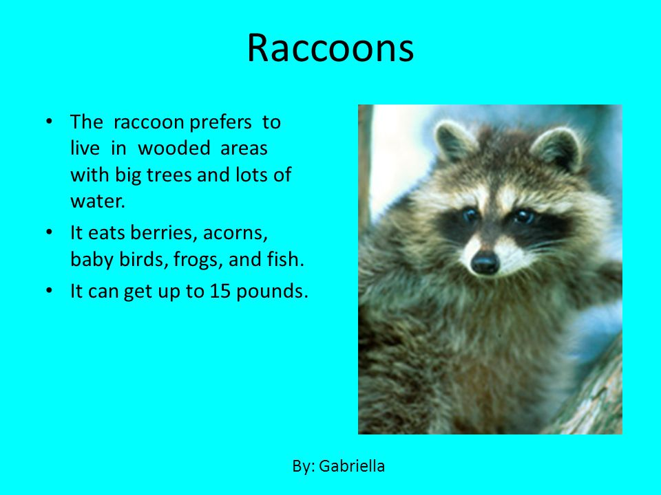 Raccoons The raccoon prefers to live in wooded areas with big trees and lots of water. It eats berries, acorns, baby birds, frogs, and fish.