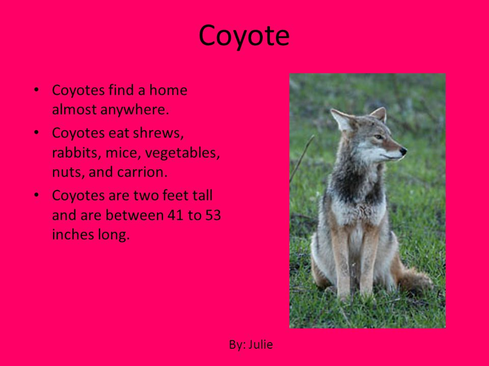 Coyote Coyotes find a home almost anywhere.