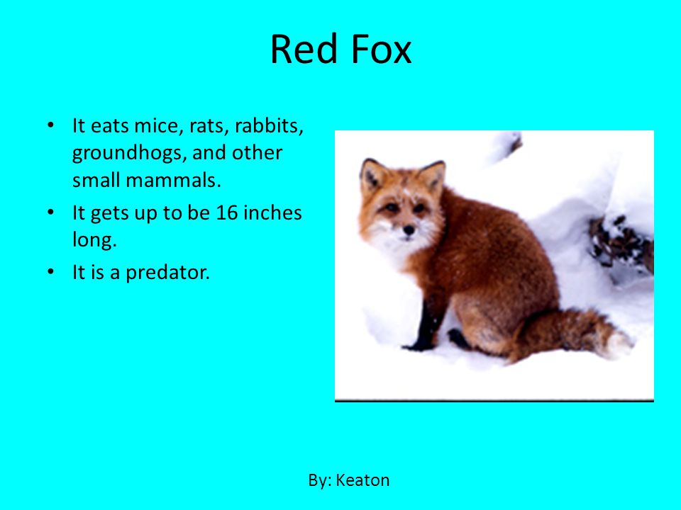 Red Fox It eats mice, rats, rabbits, groundhogs, and other small mammals. It gets up to be 16 inches long.
