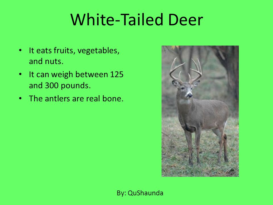 White-Tailed Deer It eats fruits, vegetables, and nuts.