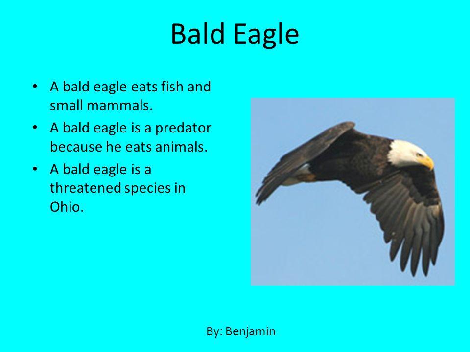 Bald Eagle A bald eagle eats fish and small mammals.