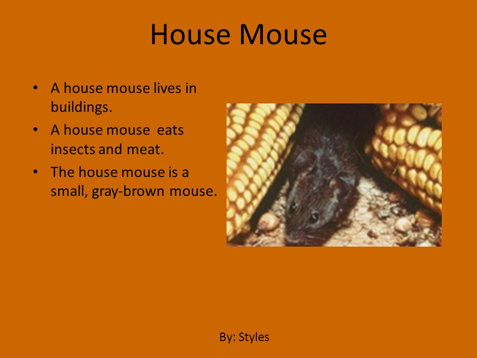 House Mouse A house mouse lives in buildings.