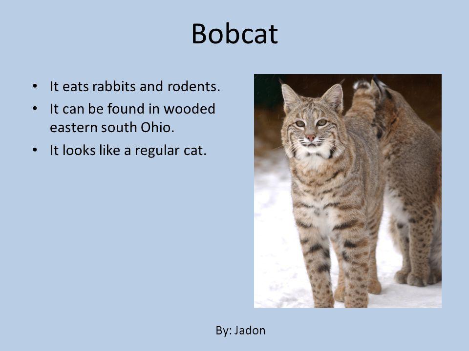 Bobcat It eats rabbits and rodents.