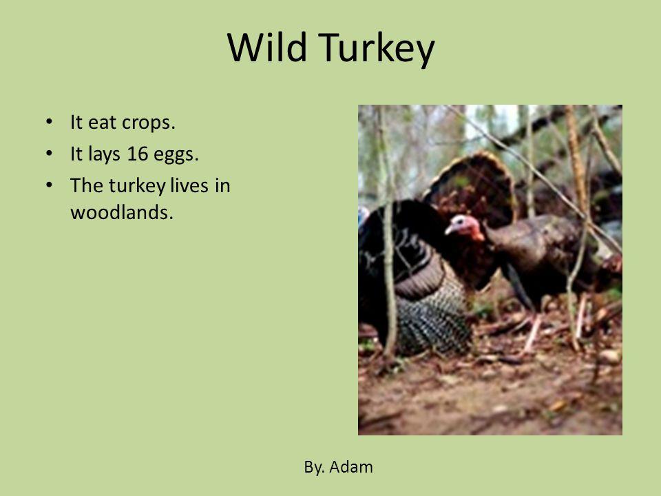Wild Turkey It eat crops. It lays 16 eggs.