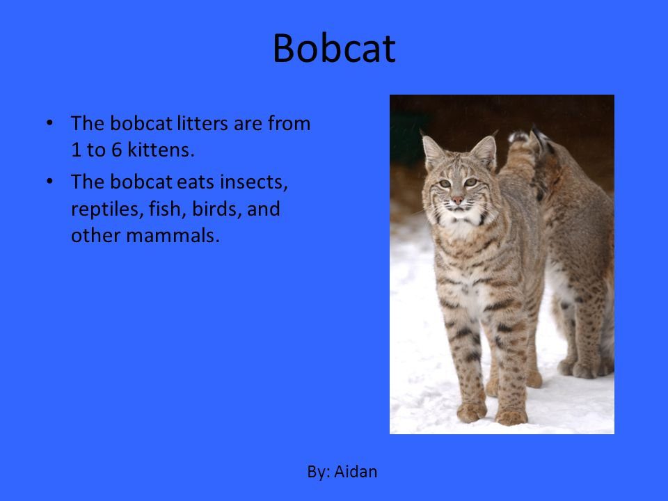 Bobcat The bobcat litters are from 1 to 6 kittens.