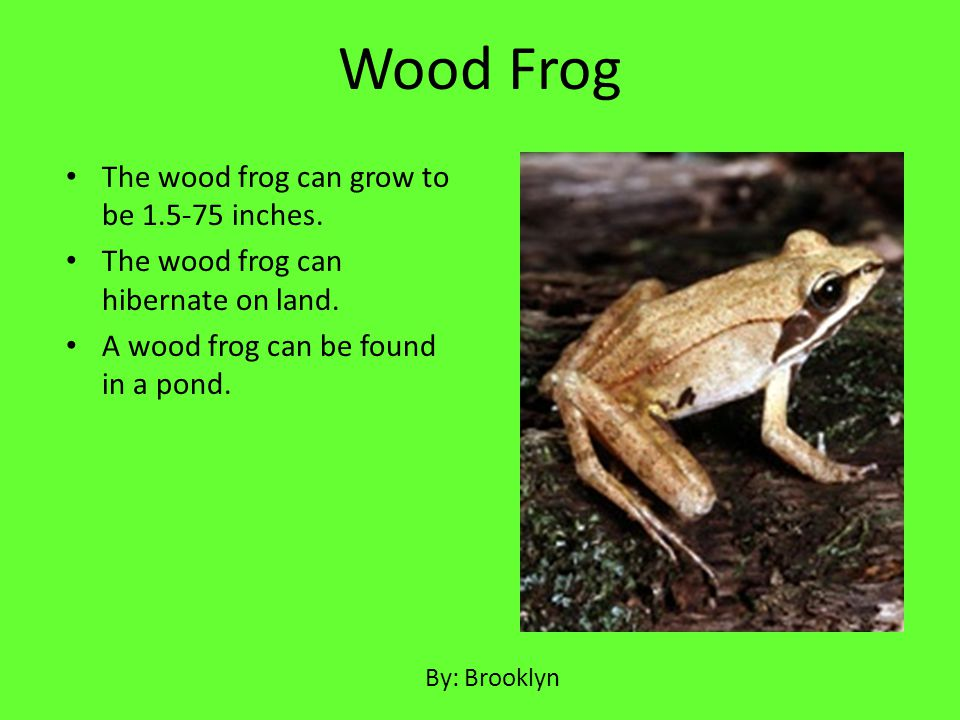 Wood Frog The wood frog can grow to be 1.5-75 inches.
