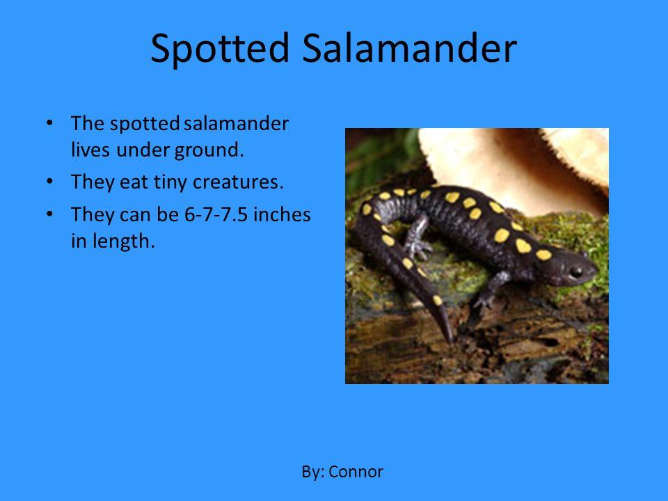 Spotted Salamander The spotted salamander lives under ground.
