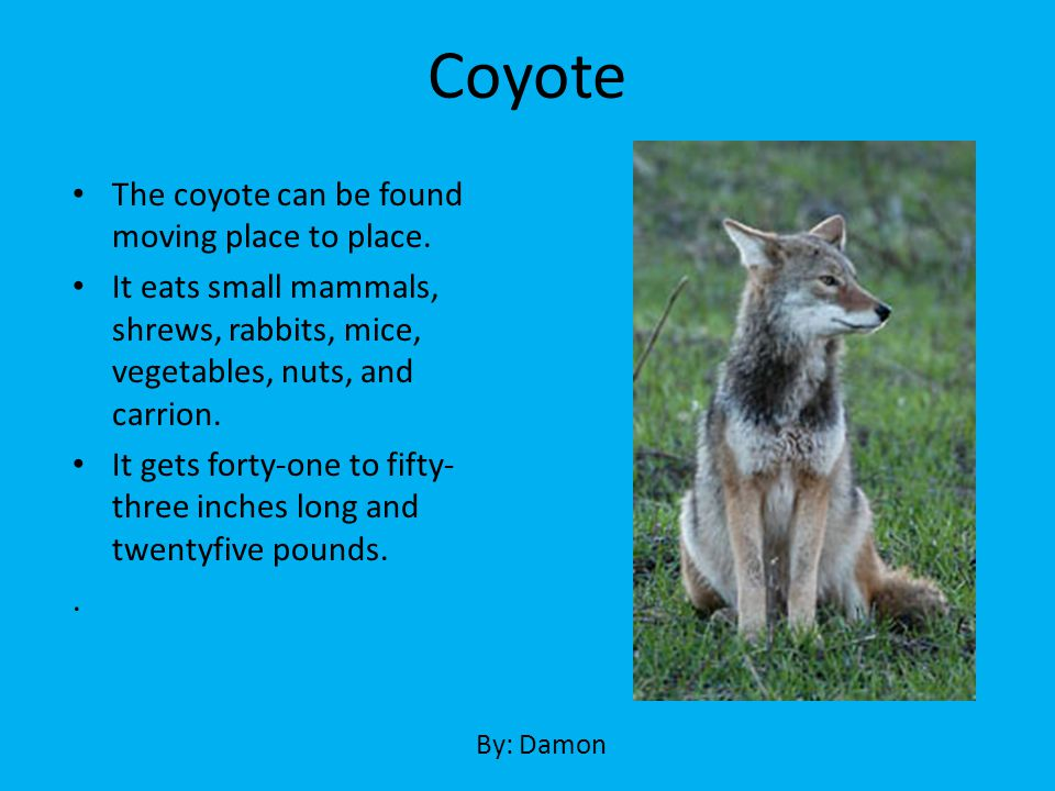 Coyote The coyote can be found moving place to place.