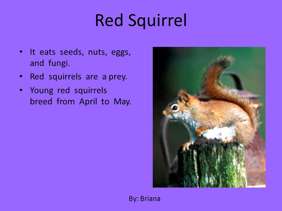 Red Squirrel It eats seeds, nuts, eggs, and fungi.