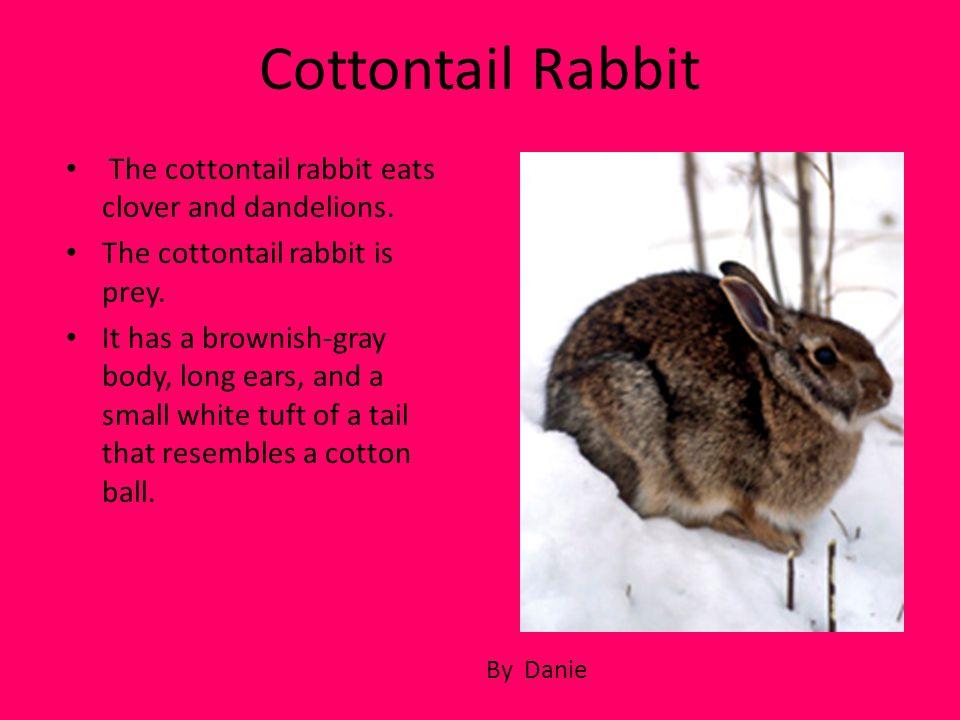 Cottontail Rabbit The cottontail rabbit eats clover and dandelions.