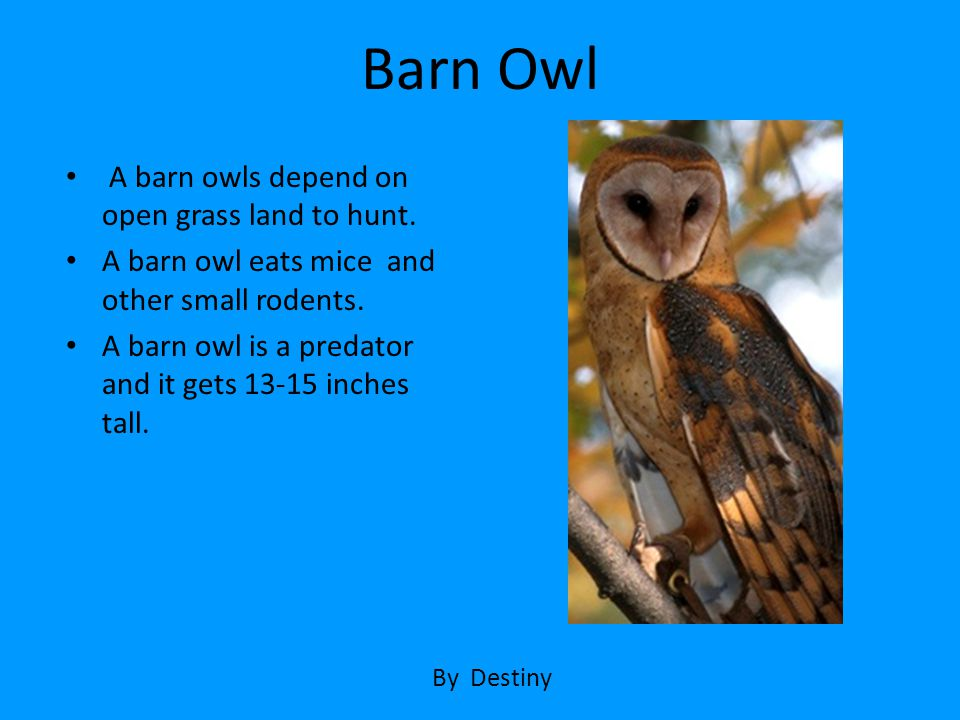 Barn Owl A barn owls depend on open grass land to hunt.