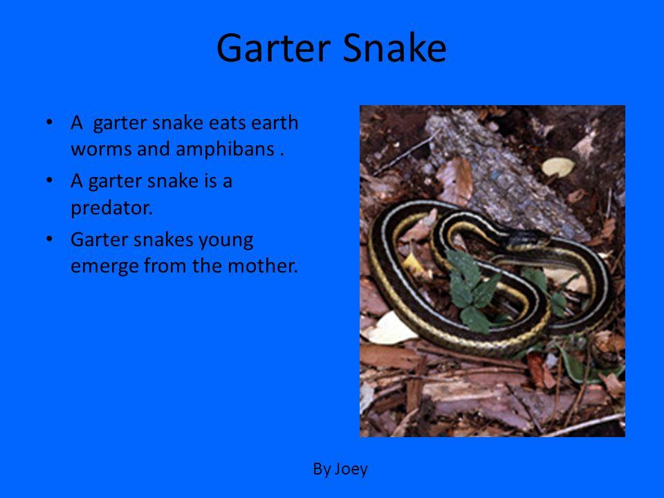 Garter Snake A garter snake eats earth worms and amphibans .