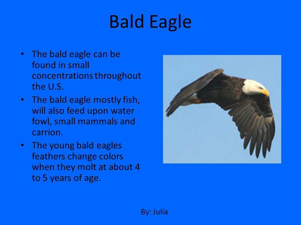 Bald Eagle The bald eagle can be found in small concentrations throughout the U.S.