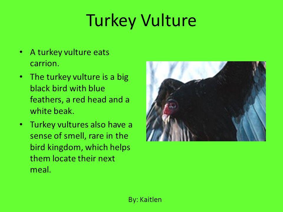 Turkey Vulture A turkey vulture eats carrion.