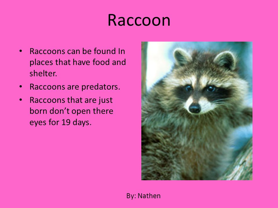 Raccoon Raccoons can be found In places that have food and shelter.