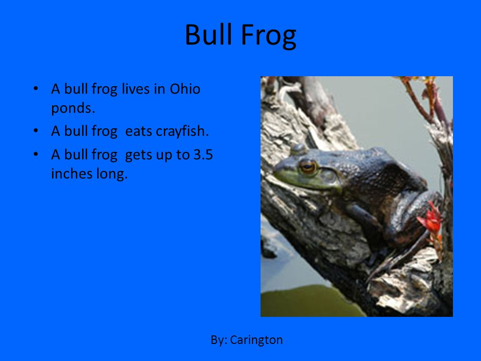 Bull Frog A bull frog lives in Ohio ponds. A bull frog eats crayfish.