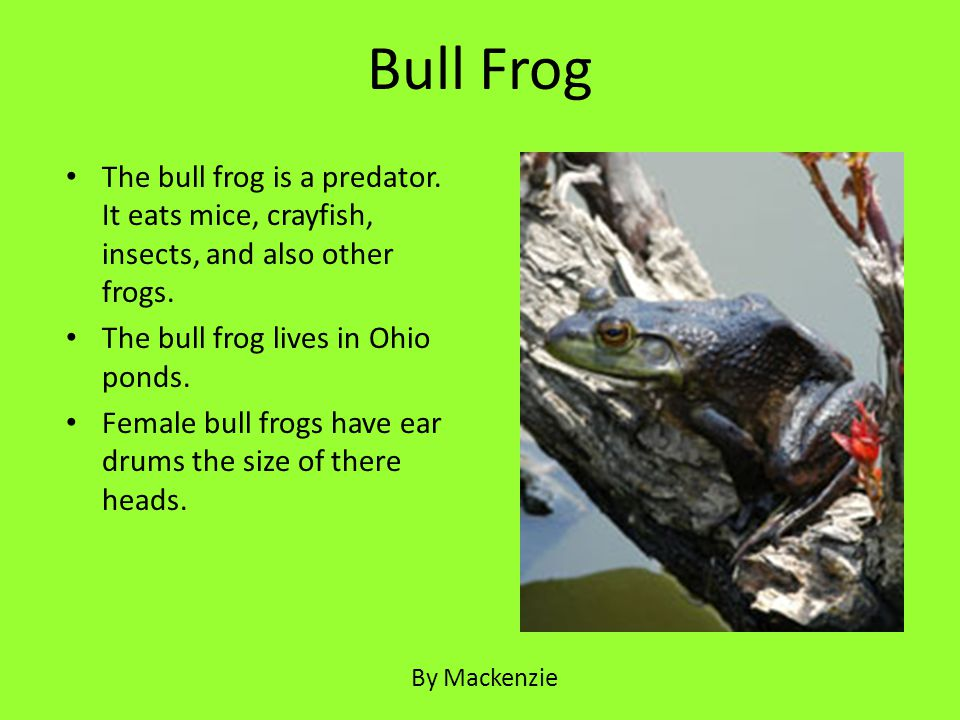 Bull Frog The bull frog is a predator. It eats mice, crayfish, insects, and also other frogs. The bull frog lives in Ohio ponds.