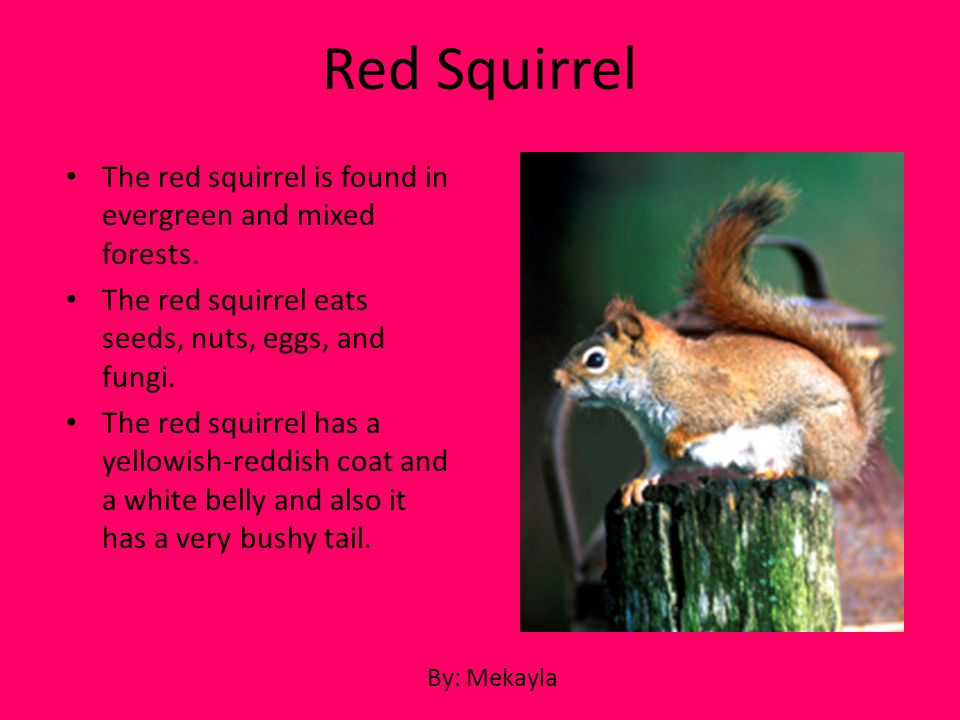 Red Squirrel The red squirrel is found in evergreen and mixed forests.