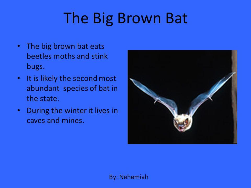 The Big Brown Bat The big brown bat eats beetles moths and stink bugs.