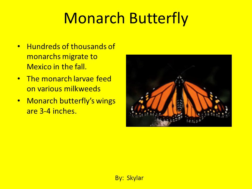 Monarch Butterfly Hundreds of thousands of monarchs migrate to Mexico in the fall. The monarch larvae feed on various milkweeds.