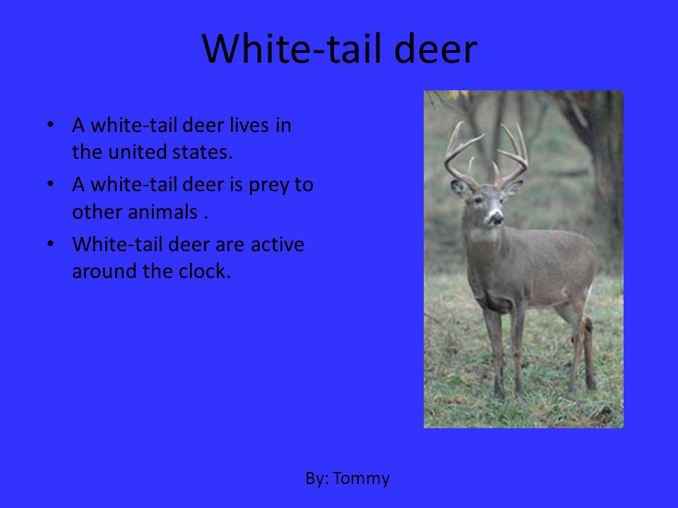 White-tail deer A white-tail deer lives in the united states.