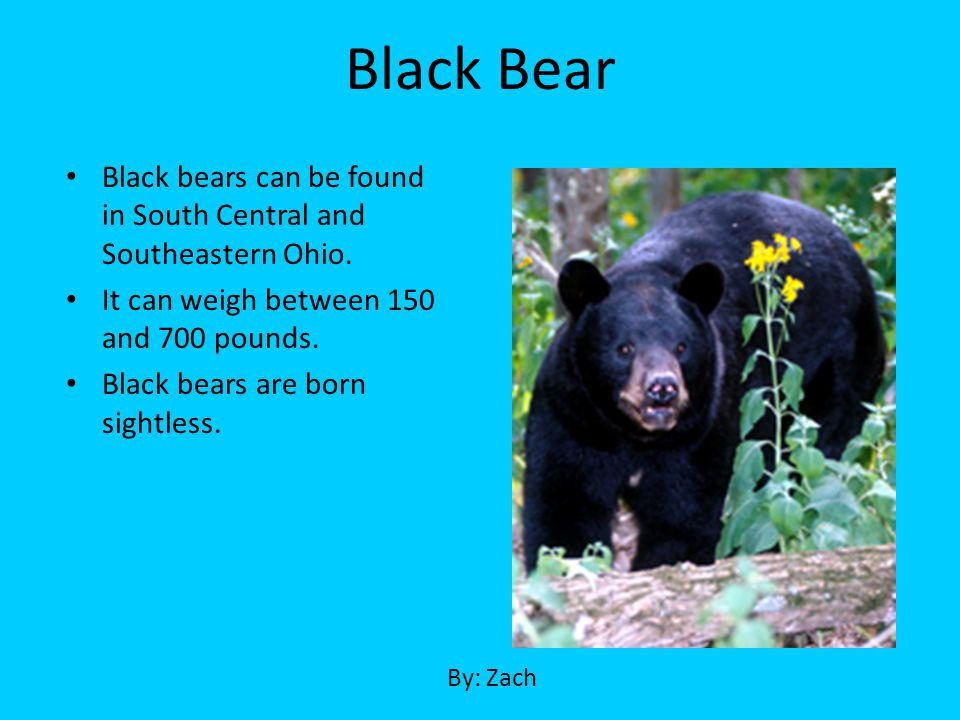 Black Bear Black bears can be found in South Central and Southeastern Ohio. It can weigh between 150 and 700 pounds.