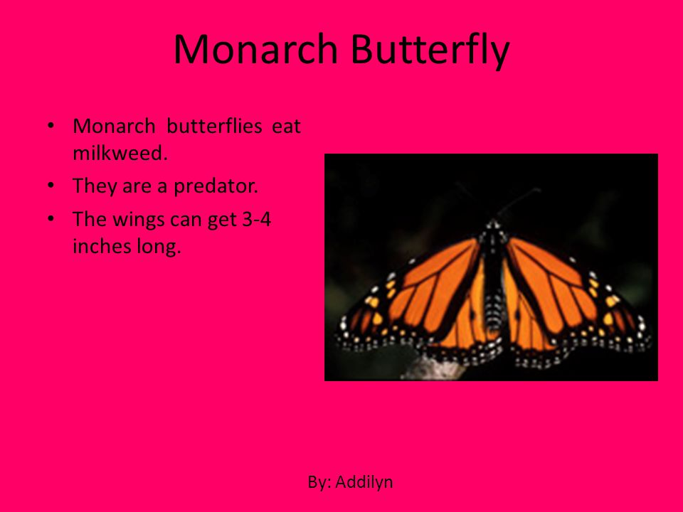 Monarch Butterfly Monarch butterflies eat milkweed.