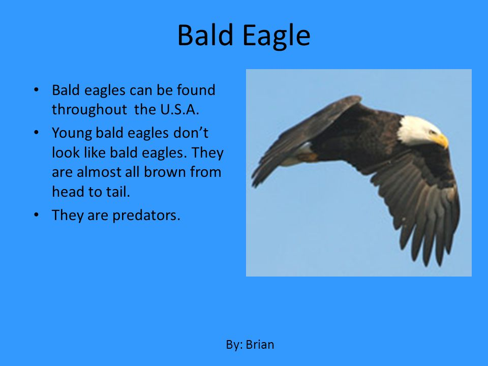 Bald Eagle Bald eagles can be found throughout the U.S.A.