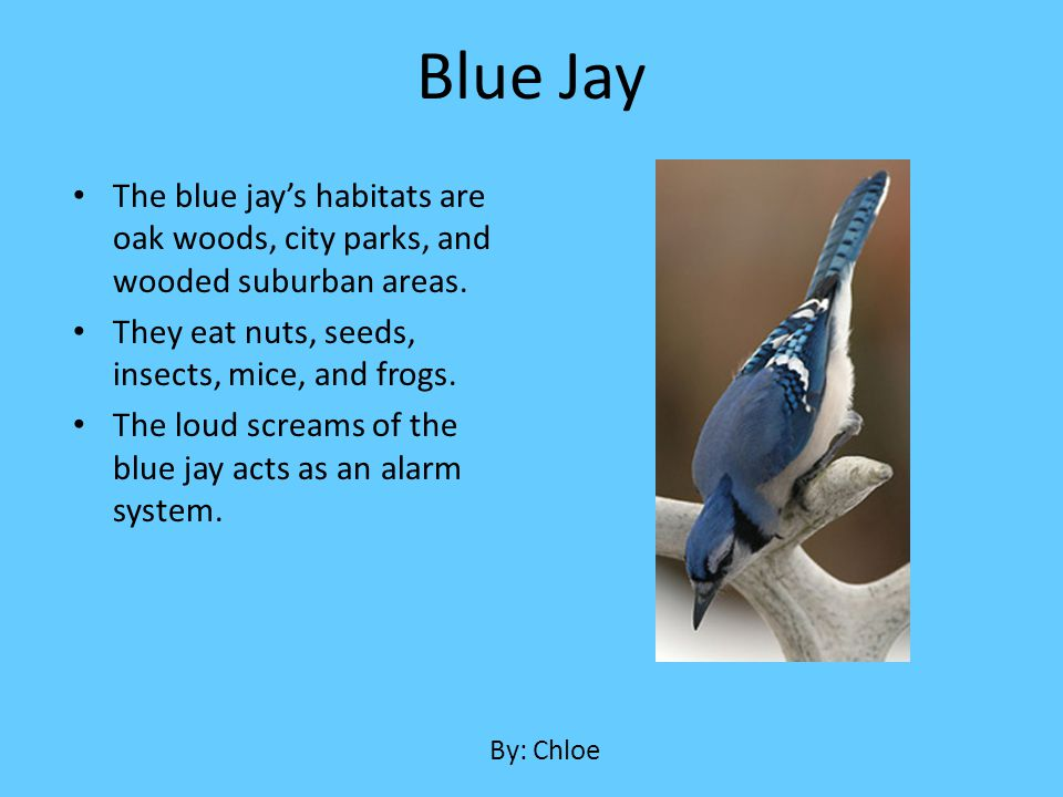 Blue Jay The blue jay's habitats are oak woods, city parks, and wooded suburban areas. They eat nuts, seeds, insects, mice, and frogs.