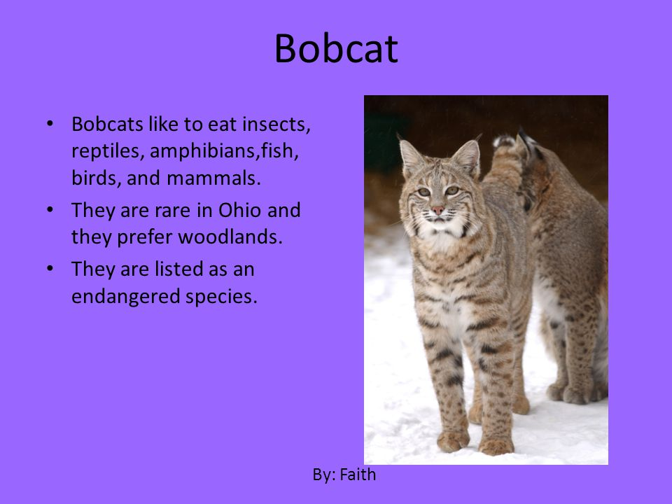 Bobcat Bobcats like to eat insects, reptiles, amphibians,fish, birds, and mammals. They are rare in Ohio and they prefer woodlands.