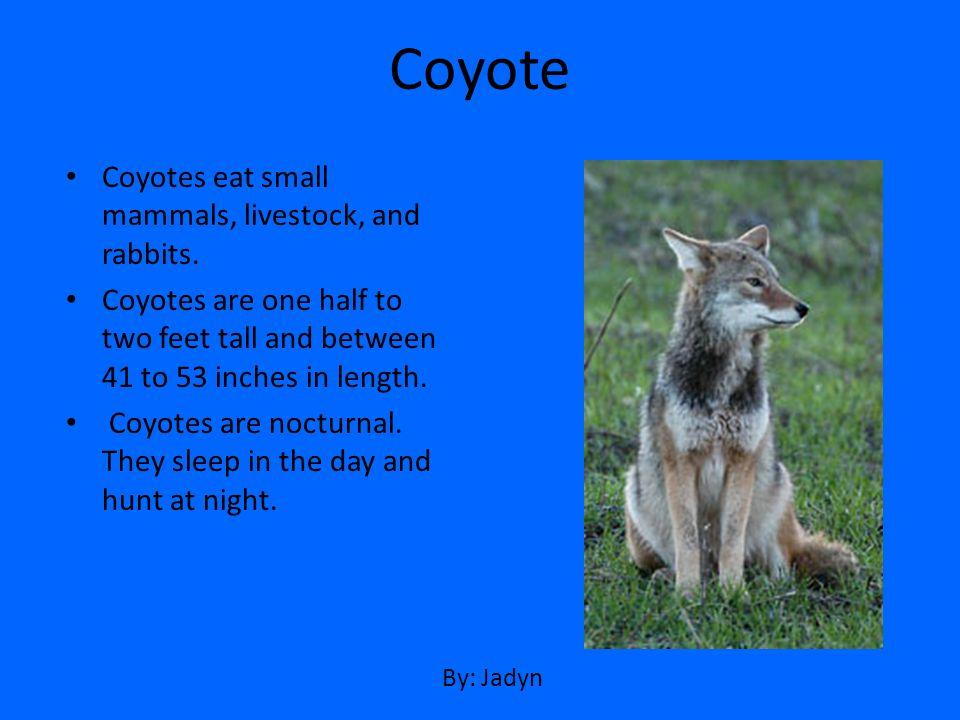 Coyote Coyotes eat small mammals, livestock, and rabbits.