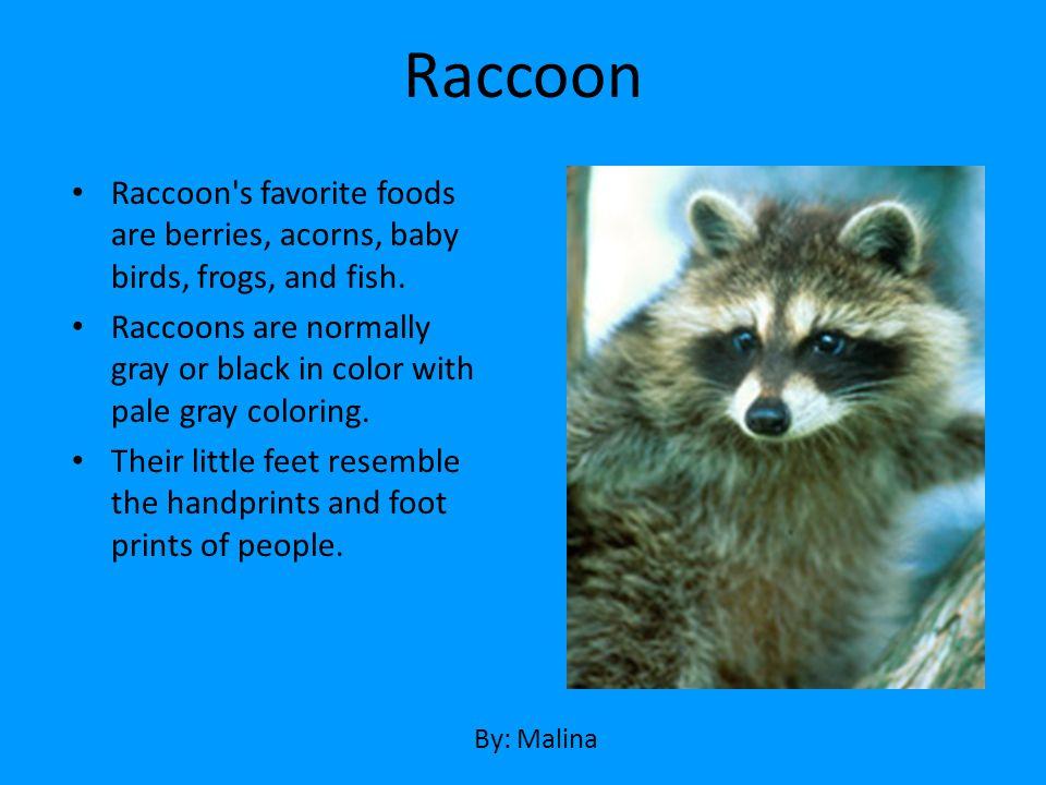 Raccoon Raccoon s favorite foods are berries, acorns, baby birds, frogs, and fish.