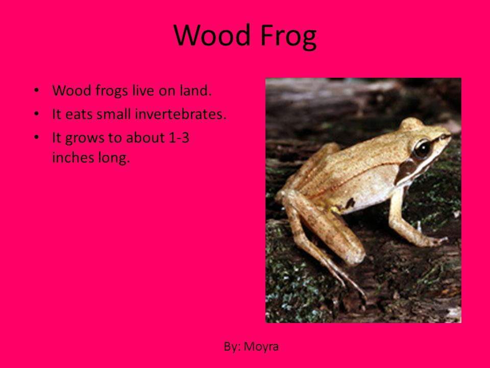 Wood Frog Wood frogs live on land. It eats small invertebrates.