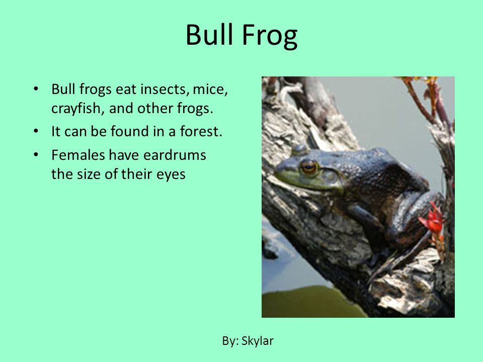 Bull Frog Bull frogs eat insects, mice, crayfish, and other frogs.