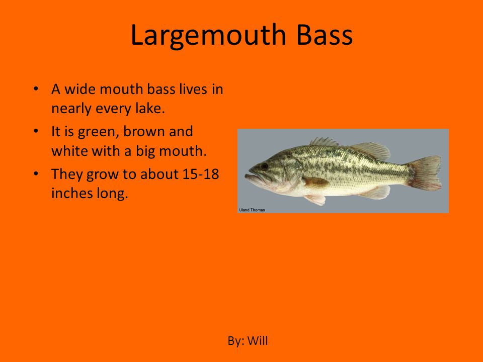 Largemouth Bass A wide mouth bass lives in nearly every lake.